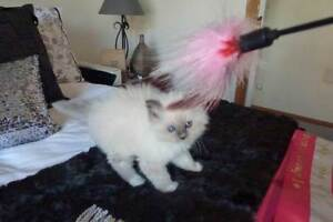 BIRMAN PUREBRED KITTENS Lauderdale Clarence Area Preview