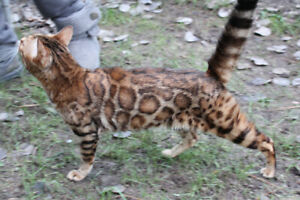 Retired Female Bengal for sale