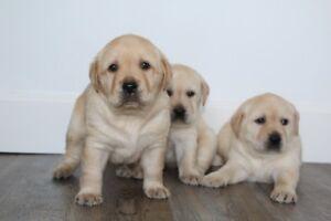 CKC Yellow Labrador Retriever Puppies
