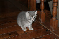 grey kitten looking for home
