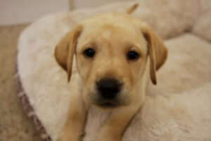 Puppies for Sale, Yellow Labrador Retrievers