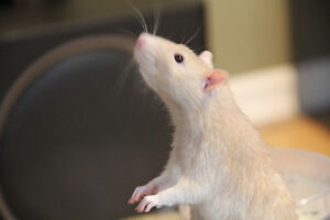 Birkshire RATS 5 Males left for adoption from 24. GREAT pets.