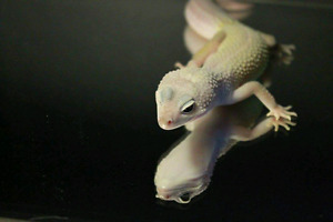 Leopard gecko collection