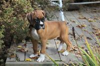 BOXER PUPS .fawns and flashy fawns.males and females-reg