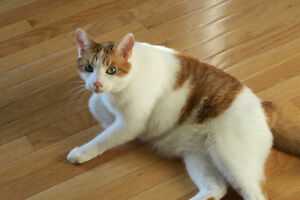 MISSING: White and Orange cat in Cole Harbour