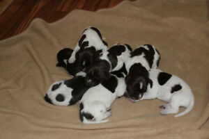 German Shorthair Pointer Puppies - For Sale
