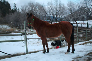 1989 Polish Arab mare for sale