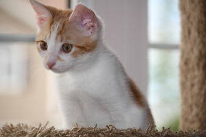 """Ralphie"" kitten up for adoption - Sasha's Cat Rescue"