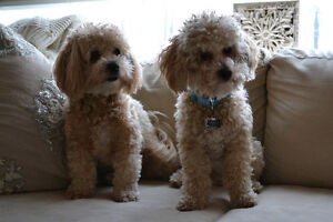 *TOY POMERANAN POMAPOO POODLE PUPPIES DUE EARLY MAY 2017*