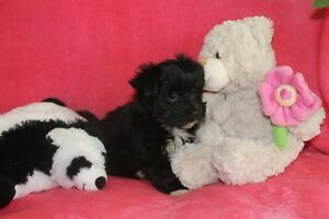 Chiots Morkie Puppies