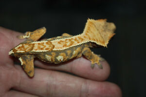 Probable Male Crested Gecko