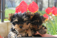 Show quality mini shih tzu and micro yorkie puppies available