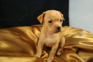 CHIHUAHUA PUPPIES, READY NOW , GREAT PRICE!!!