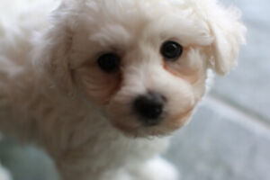 Bichon Frise | Kijiji in Ontario  - Buy, Sell & Save with