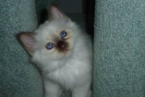 BIRMAN KITTENS Claremont Glenorchy Area Preview
