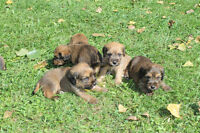 Wheaten x beagle pups for sale ONLY 3 pups available
