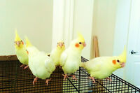 Super Tamed, Handfed, Young Lutino Cockatiels Available As Pets