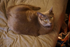 Missing Cat - Max, DSH Grey with white tuft on chest and belly