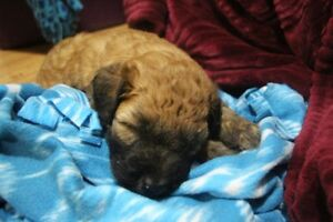 Chiots soft coated wheaten terrier