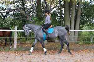 Registered 4 year old 16hh mare
