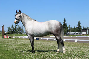 Gorgeous 2011 German Riding Pony
