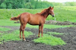 Registered half Arab colt Strathcona County Edmonton Area image 1