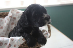 Cockerpoo F1b Puppy Available, Black with White Patches