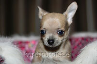 Chihuahua puppies, beautiful and ready to go Thu!!