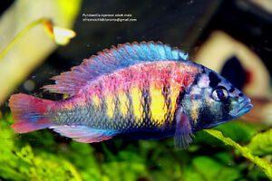 Tropical aquarium fish, African cichlid, Malawi. Tanganyica