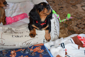 Miniature Dachshund Long Hair Female Puppy