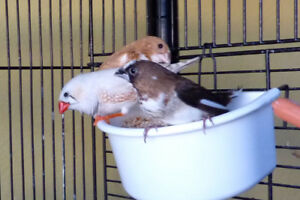 Bonded Black/Dark Brown and Chestnut society finch pair (M & F)
