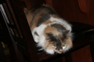 Lost/Missing Calico (dilute) Cat - One last post :(