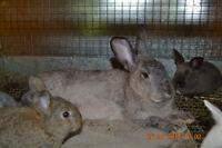 broken tort mini rex doe & chinchilla coloured doe rabbit