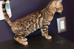 Bengal kitten, brown female, Maccalan
