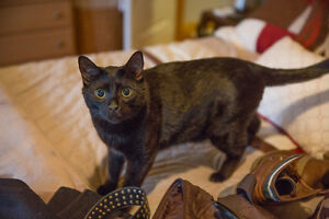 $100 REWARD - Black Cat - missing from Kenney Rd Breslau