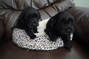 yorkiepoo Puppies 1m 1f Excellent little puppies