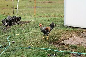 Legbar Roosters for Sale - Blue Eggs