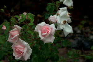 One healthy rose plant for sell or swap