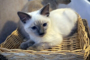 Beautiful BLUE CREAM POINT Ragdoll  Cats for you !!!