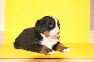 Bernese moutain dog puppy for sale