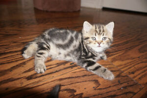 Purebred Scottish Fold and Straight kittens -new litters