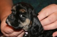 American cocker spaniel puppies for sale