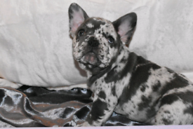 Lilac and merle french bulldog pups