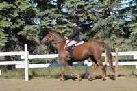 Beautiful Hunter/Jumper Pony with Show Experience!