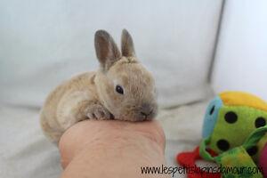 Bébés Lapins Mini-Rex (Nains)-Les Petits Lapins d'Amour