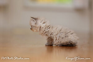 Doll Face Himalayan/Persian kittens for sale Toronto