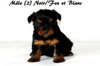 WOW! ADORABLES PETITS CHIOTS MORKIE TOYS, VACCINÉ +++