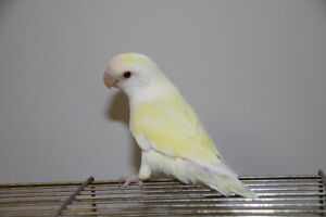 Canary Colored Male Lovebird with Cage
