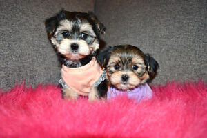 TEDDY BEAR BABYFACE MORKIE PUPPIES 416-820-4666