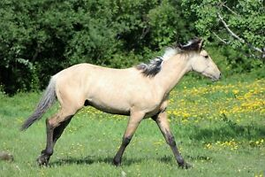 Mountain Horses for Guide/Outfitter Prince George British Columbia image 3